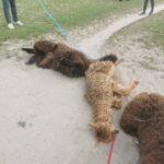 alpaca rollen